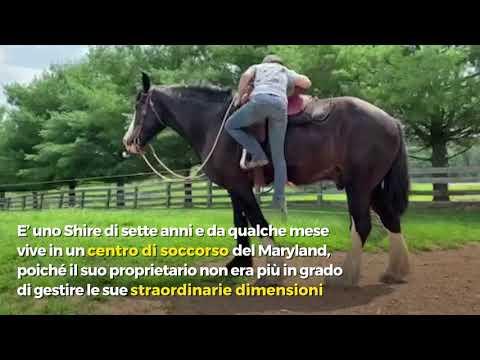 Questo cavallo gigante è una star di TikTok