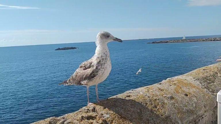 Gallipoli, gabbiani rubano i tarallini ai turisti